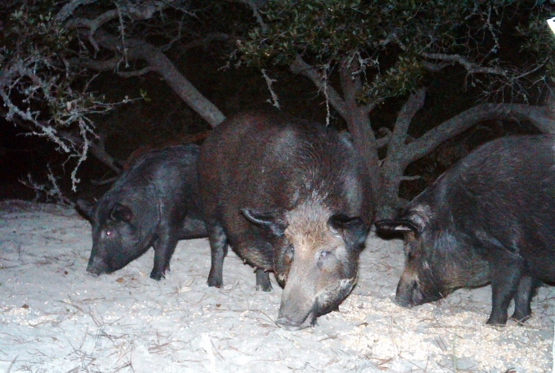 three feral hogs