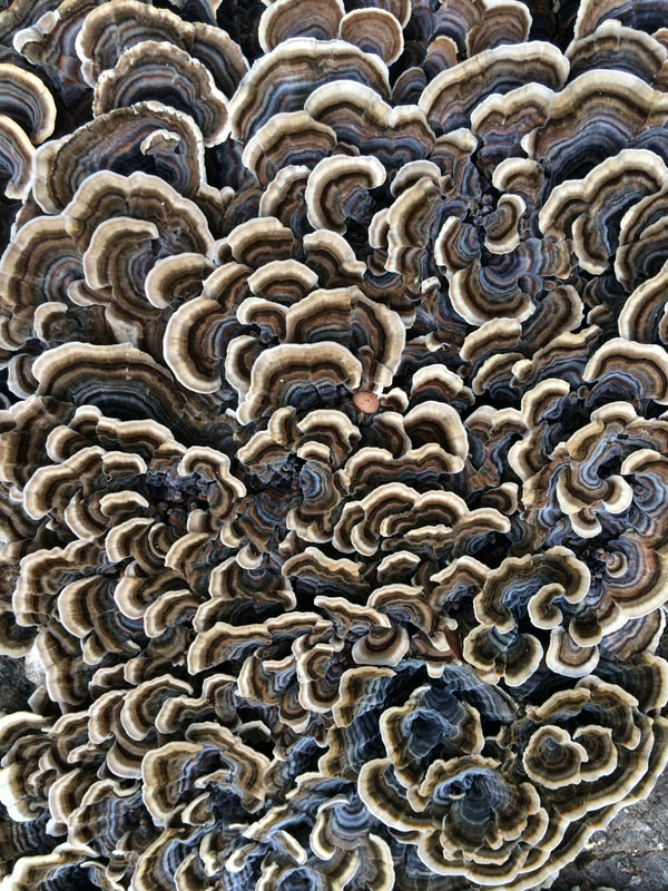 Close-up of Turkey Tail fungus showing a rippling patter in whites and browns