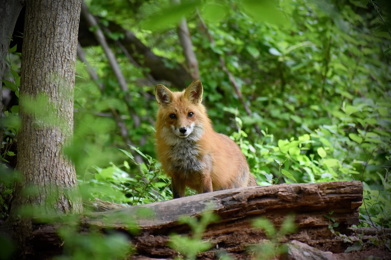 Red fox looking right at camera, standing behind a fallen log with green forest leaves in foreground and background