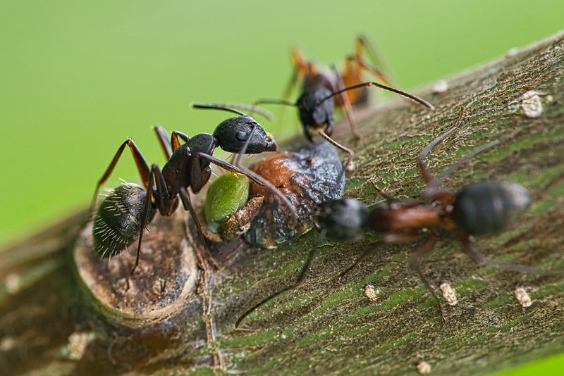 Close up of three ants on a plant stem