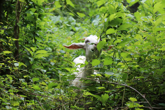Photo of goat eating leaves within thick mat of green plants