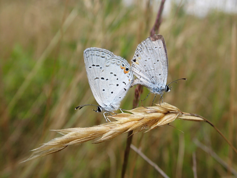 Two light-blue butterflies with abdomens attached, perched on a dried grass seed head