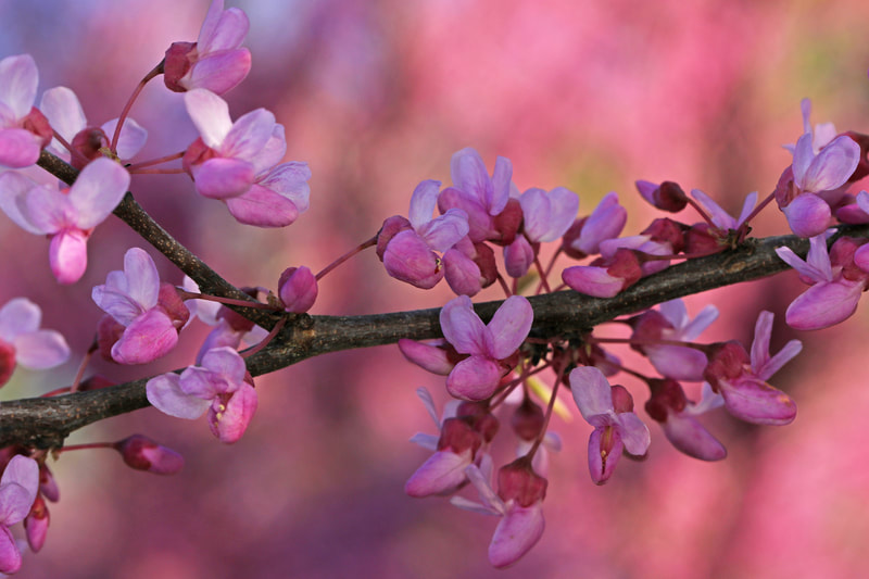 Close-up of a redbud tree branch covered in pink flowers