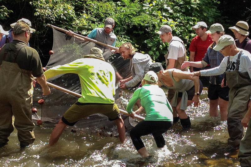 A dozen people in action in a stream, working together to use a large seine net