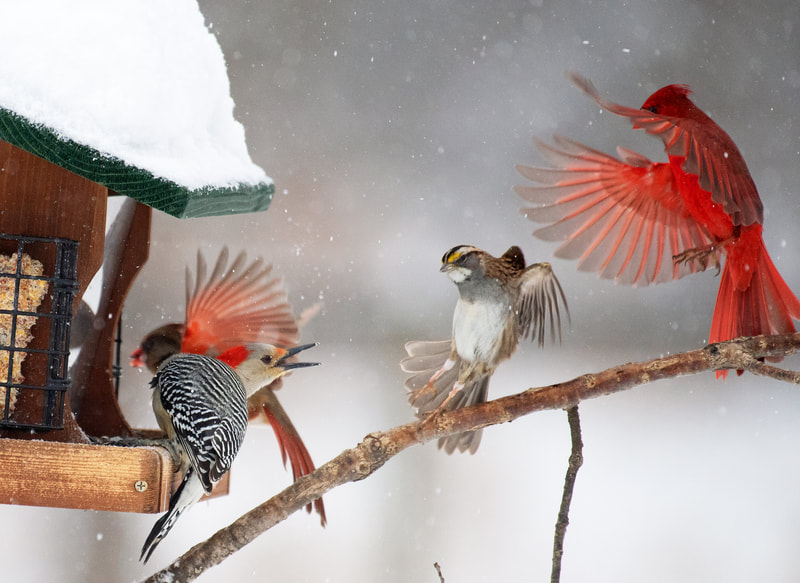 Several birds in conflict at a feeder, one facing the others with beak open and three coming in for a landing with wings outstretched